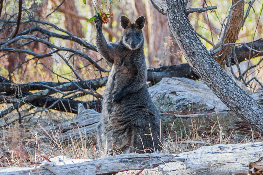 wallaby-with-paw-raised