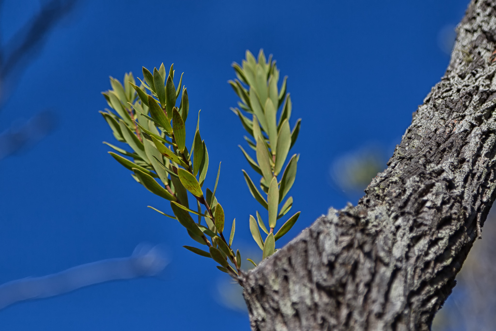 new-growth-on-tree-point-nepean
