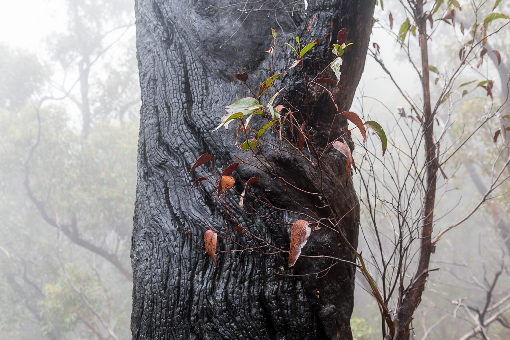 burnt-tree-grampians
