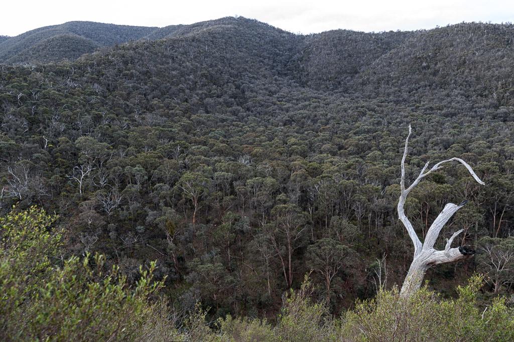 dead-tree-on-link-track-no-1-lerderderg-gorge