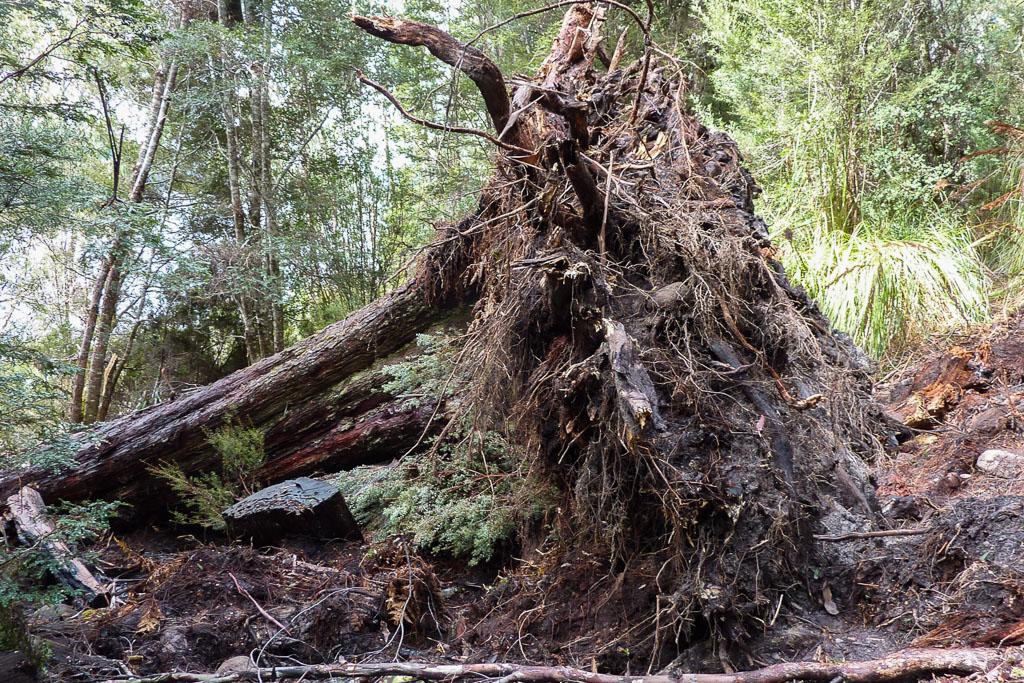 fallen-tree-across-overland-track