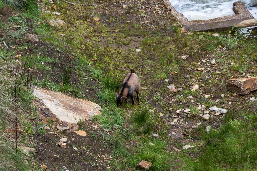 goat-near-lerderderg-weir
