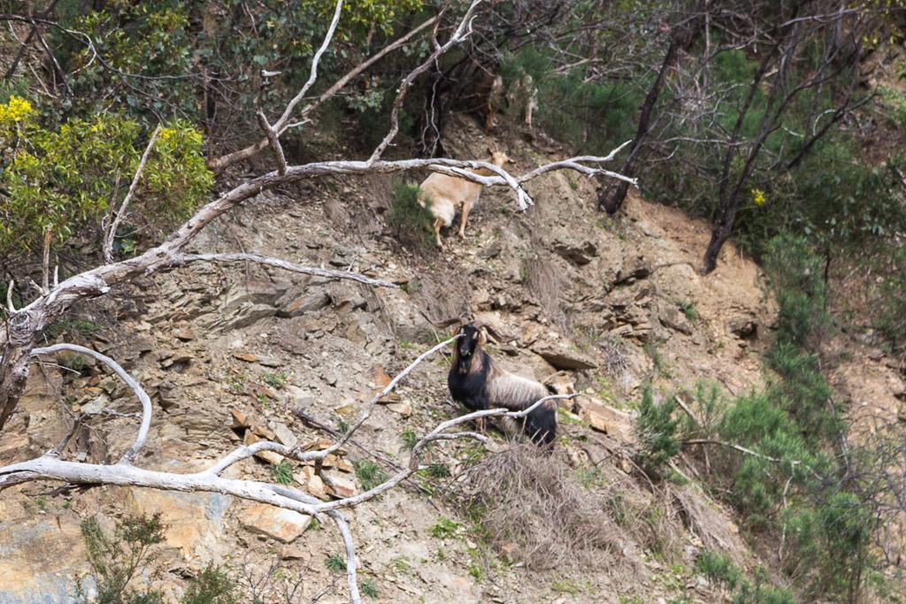 goats-near-lerderderg-weir