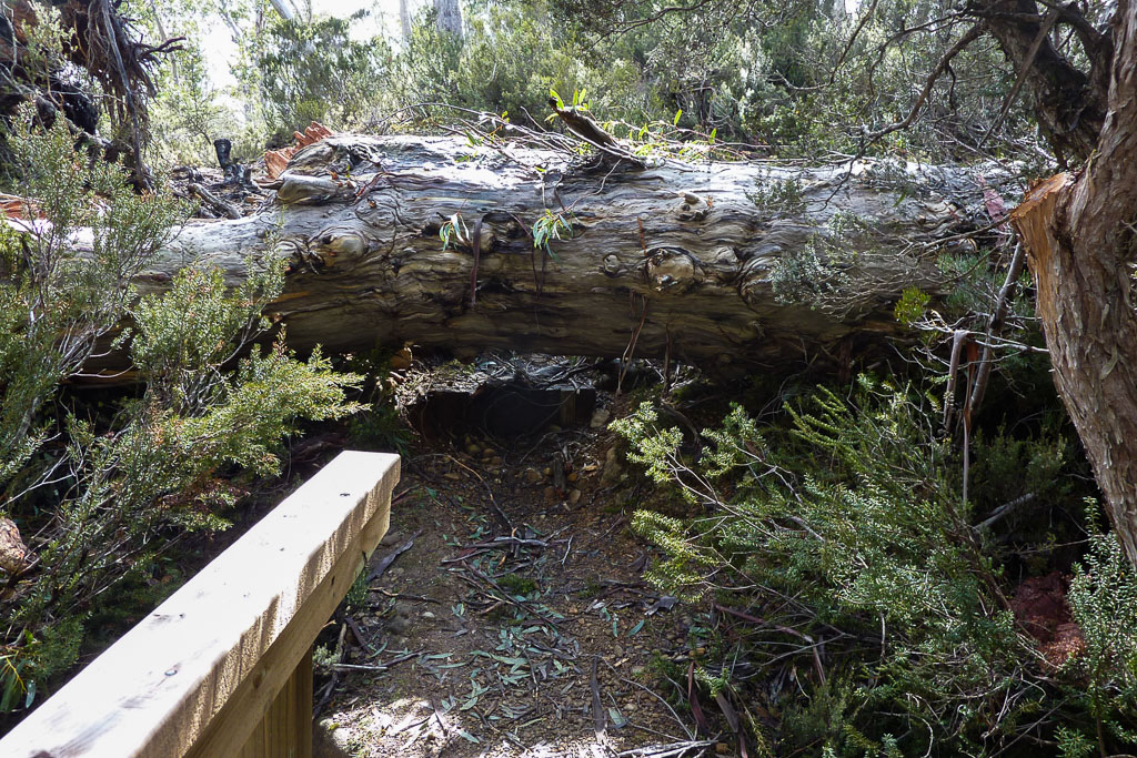 large-fallen-tree-across-overland-track