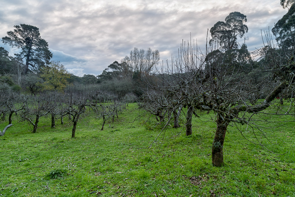trees-apple-orchard-lorne