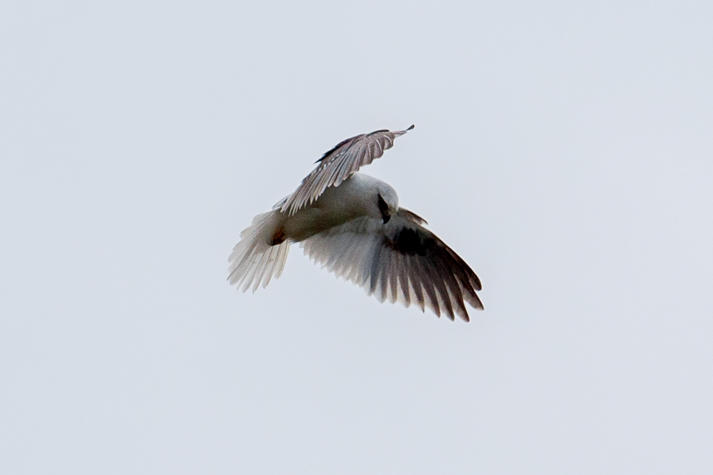 black-shouldered-kite-point-londsale