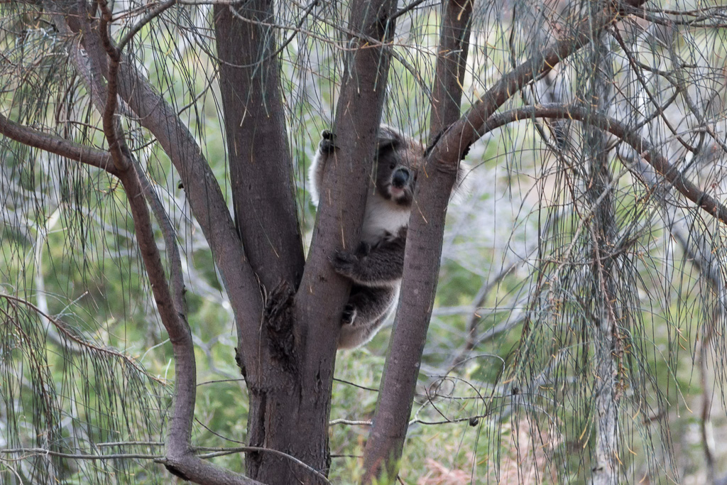 koala-in-tree-you-yangs