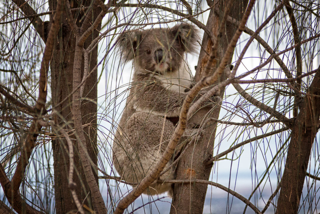 koala-tree-you-yangs