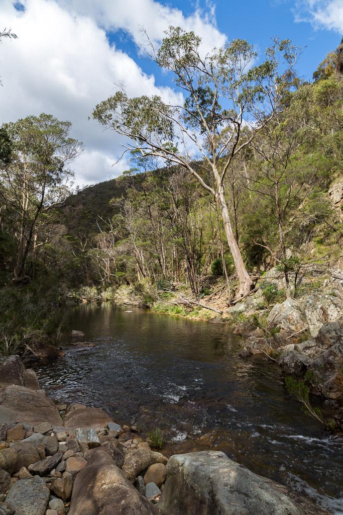 large-eucalypt-lerderderg-river