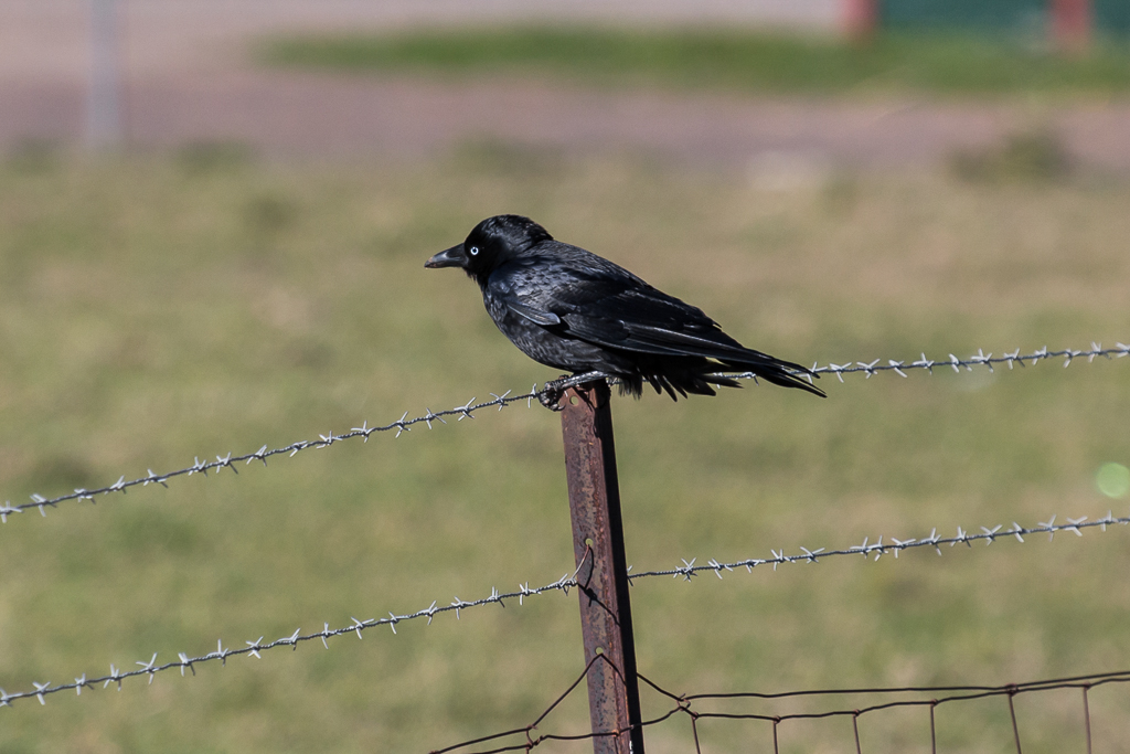 little-raven