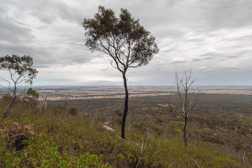 tree-on-east-west-walk-you-yangs