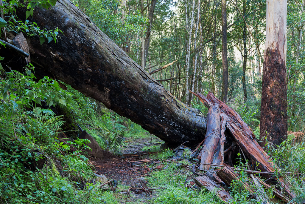 fallen-tree-otways