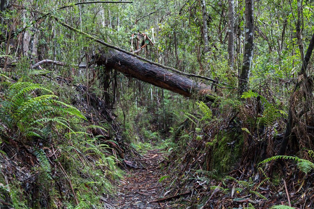 fallen-tree-tramline-track-lorne