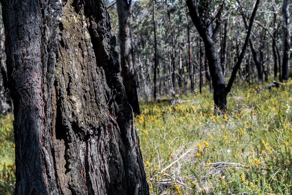 burnt-trees-currawong-falls-track