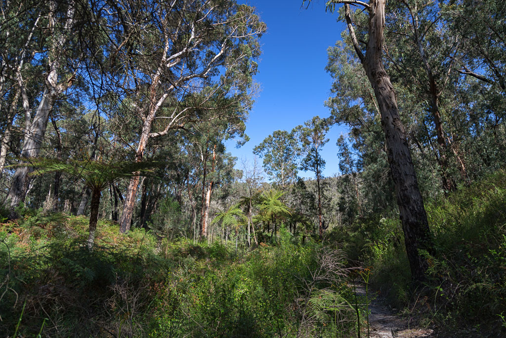 eucalypts-walking-track-currawong-falls