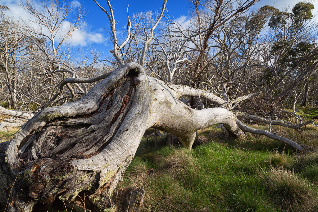 fallen-tree-alpine-national-park