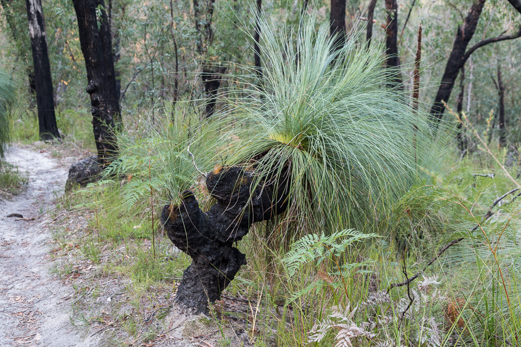 grass-tree-currawong-falls-track