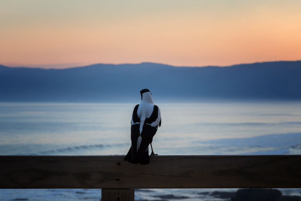 magpie-standing-on-fence-coast-sunset
