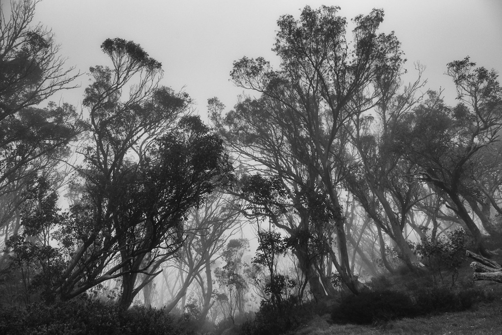 mist-trees-macalister-springs