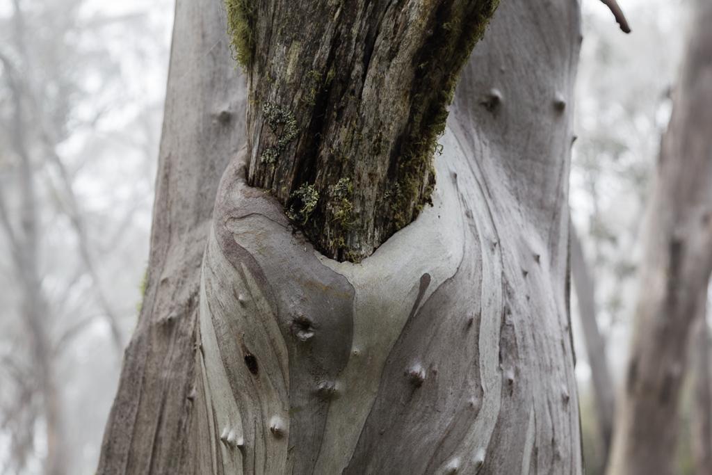 snowgum-branch