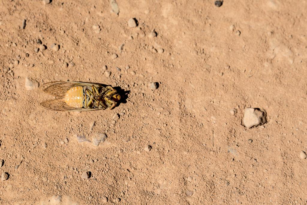 dead-cicada-zeka-spur-track