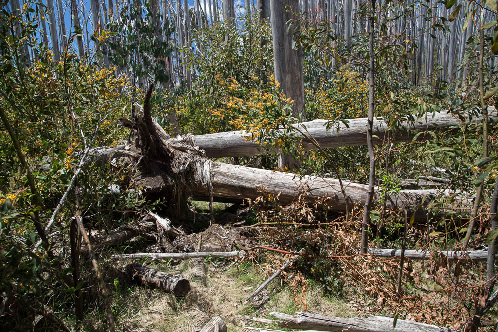 fallen-trees-near-viking-saddle