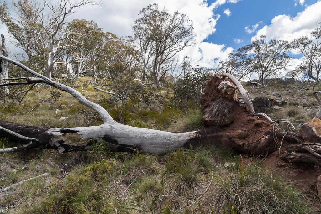 fallen-trees-wonnangatta-spur