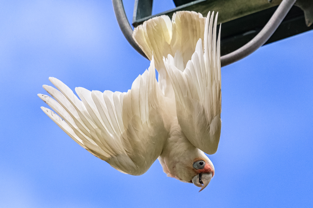 long-billed-corella-on-cable