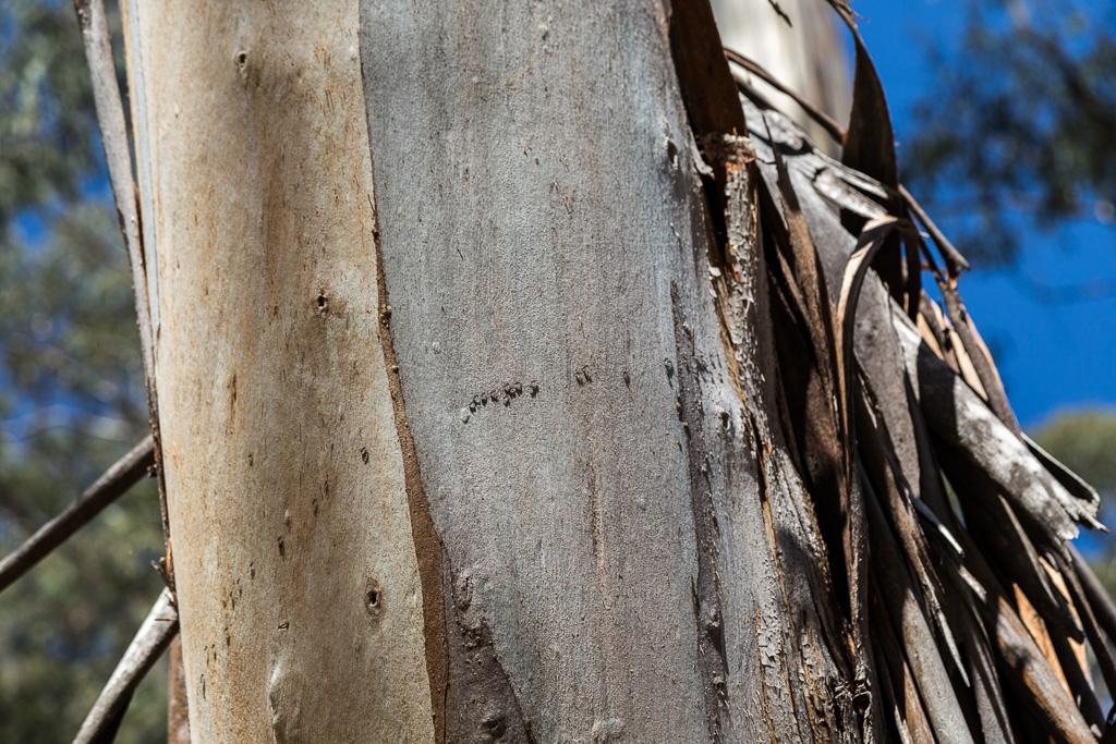 ants-on-eucalypt-tree