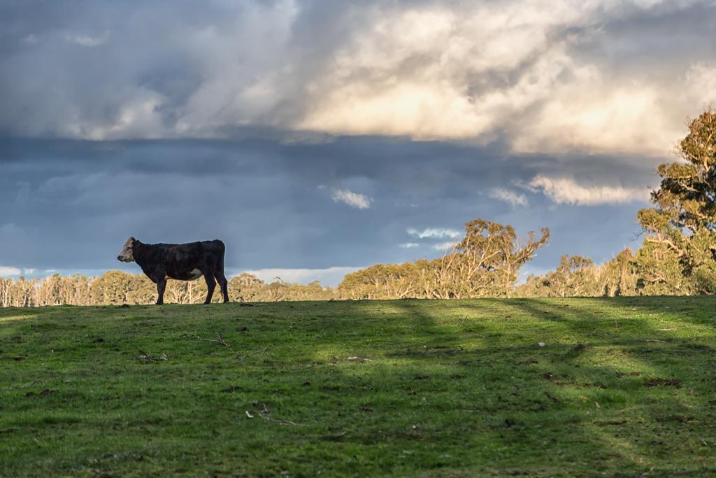 cow-paddock-kinglake