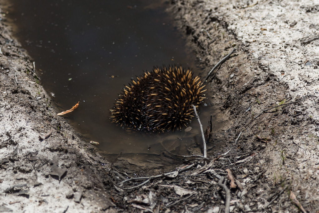 echidna-in-water-lerderderg-gorge