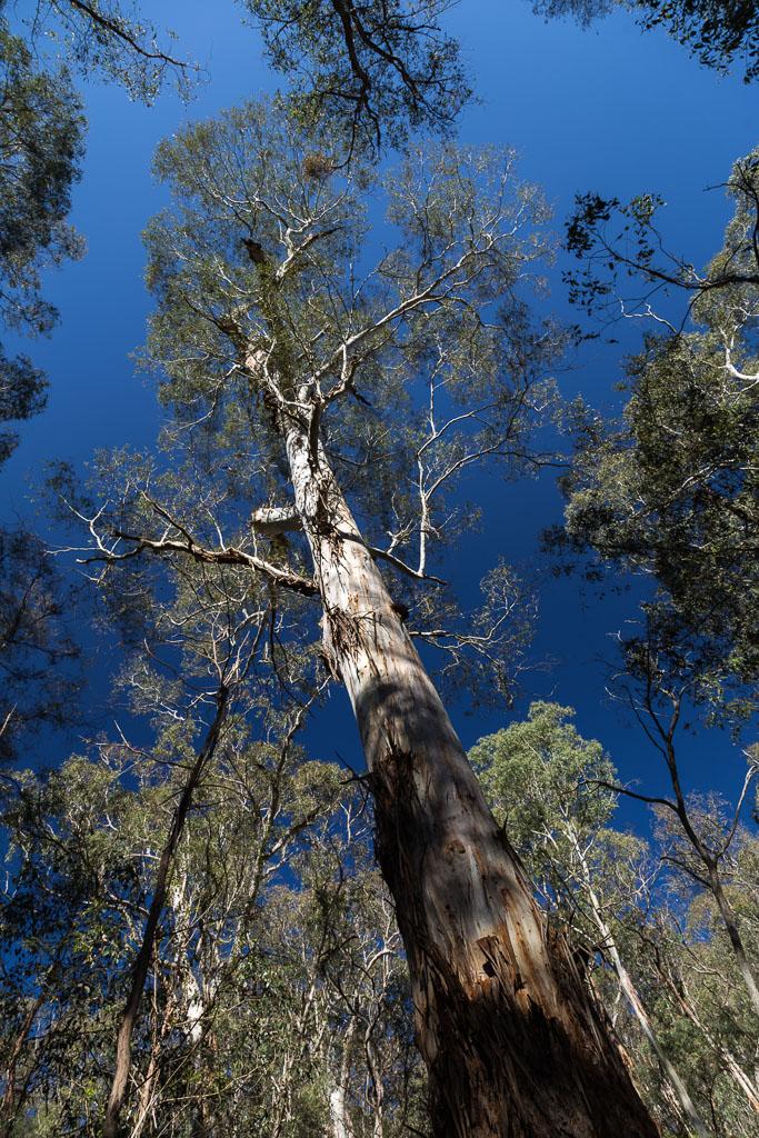tall-eucalypt-lerderderg-gorge