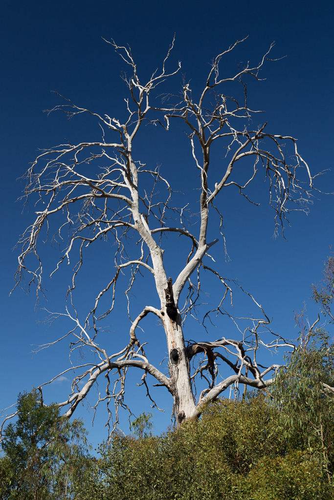 large-eucalypt