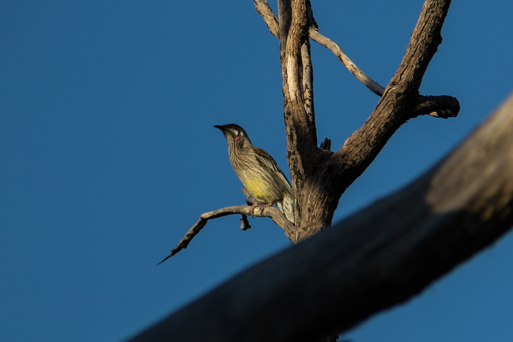 red-wattlebird-on-tree