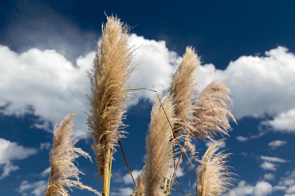 grass-reeds
