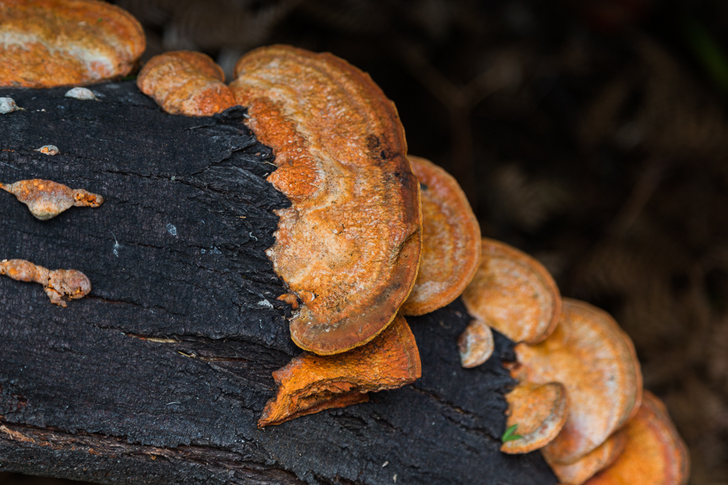 fungi-on-burnt-log