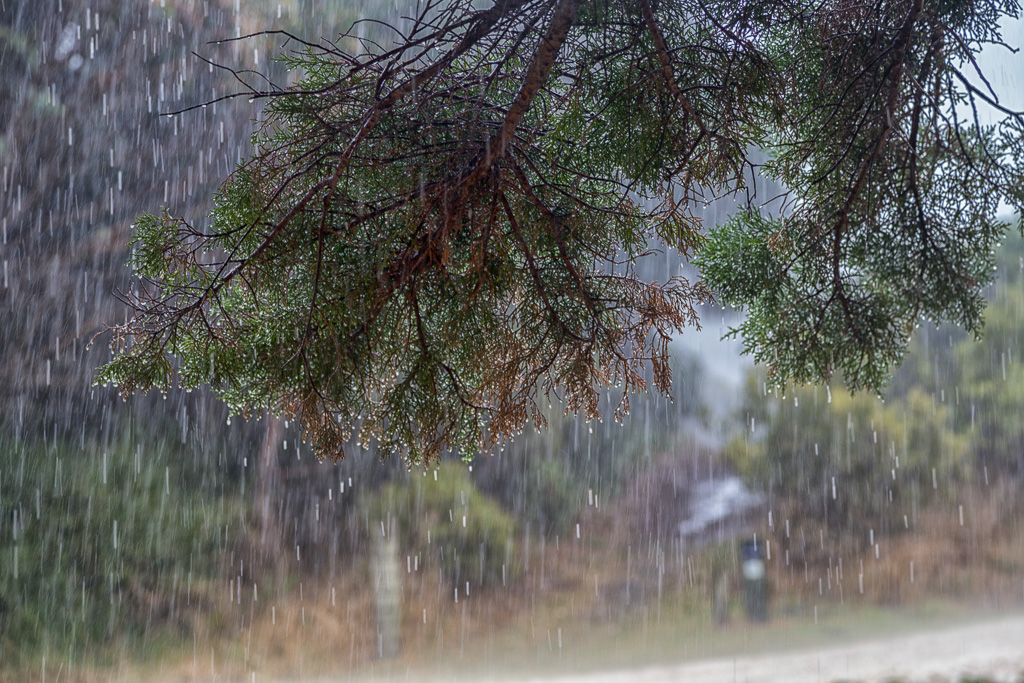 heavy-rain-pine-tree