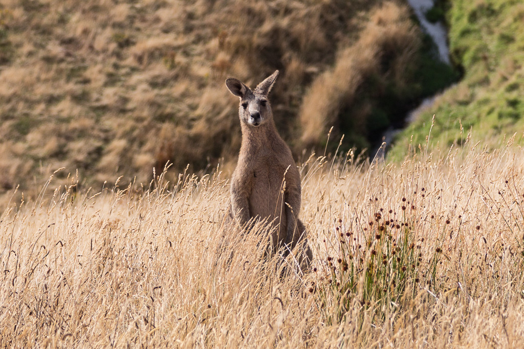 kangaroo-in-long-grass