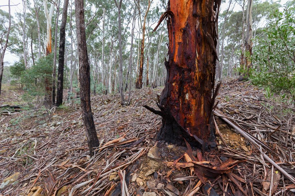 bark-strips-eucalypt