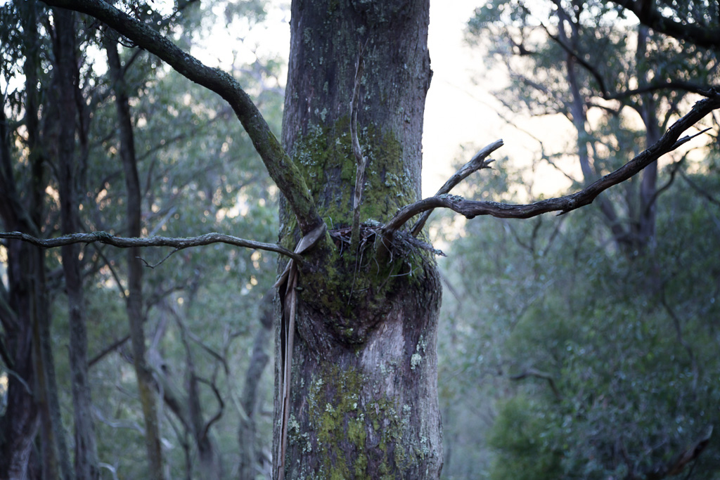branches-like-horns-eucalypt
