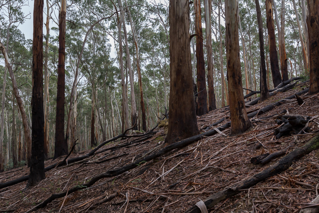 burnt-trees-jack-track-daylesford