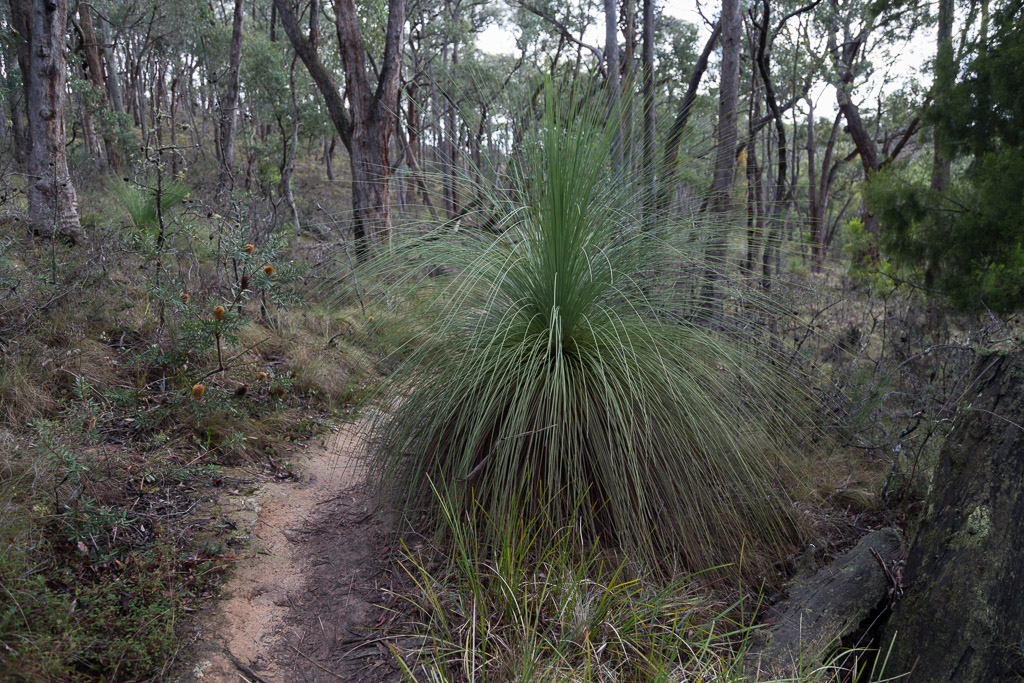 grass-tree-lerderderg-gorge