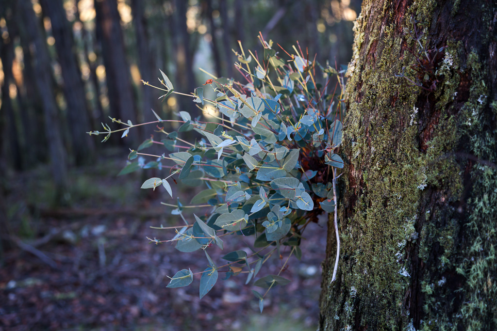 new-eucalypt-growth-tree-trunk