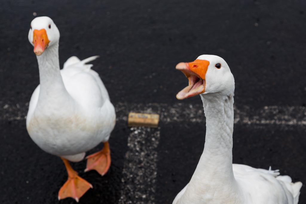 geese-lake-daylesford
