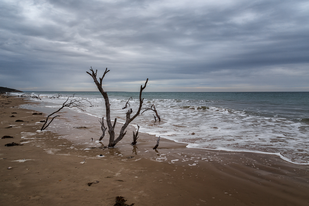 tree-on-three-mile-beach-wilsons-promontory