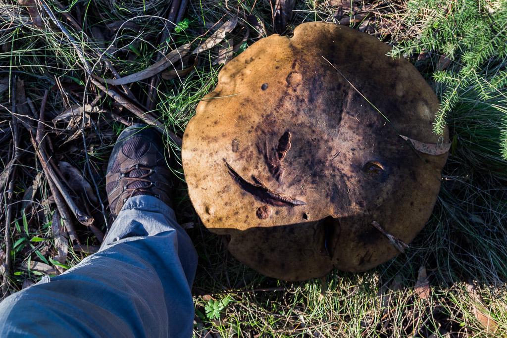 large-fungi-otway-ranges-scale