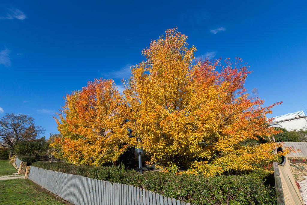autumn-tree-daylesford
