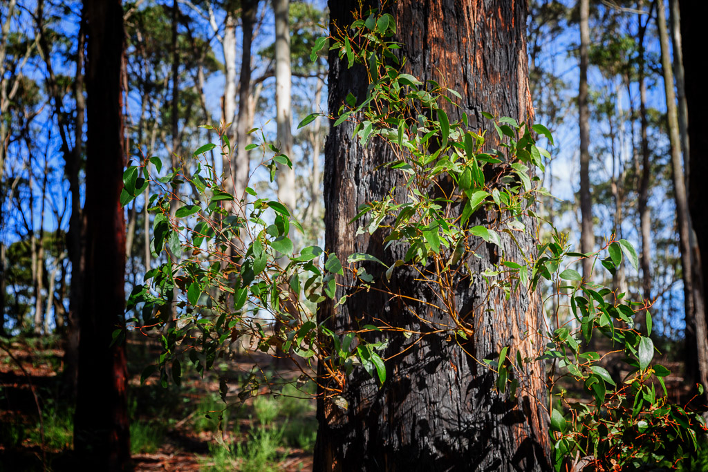 green-foliage-burnt-tree