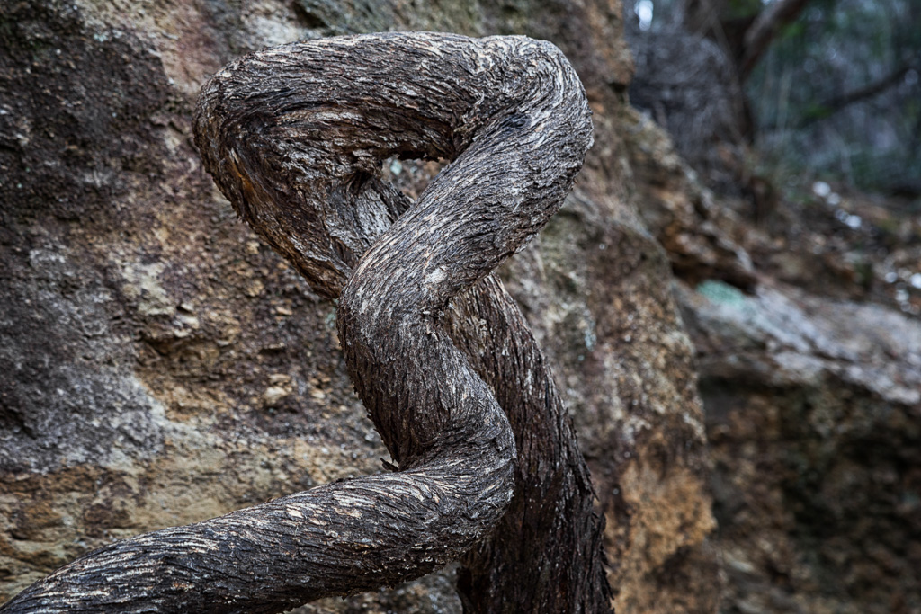 twisted-tree-root