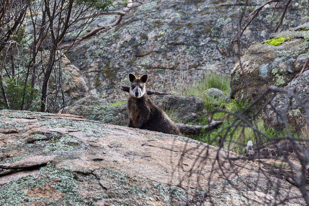 wallaby-mount-kooyoora